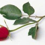 Красные розы – символ страсти и желания