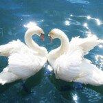 Лебединая любовь… И все же как красиво