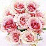 Розовые розы — символ изысканности и элегантности