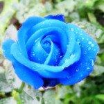 Синие розы — таинственность. Чайные розы — расставание