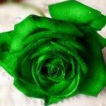 Зеленые розы — стабильность. Черные розы — печаль