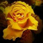 Желтые розы — символ дружбы, признания и уважения