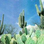 Мифы о кактусах (часть 1)